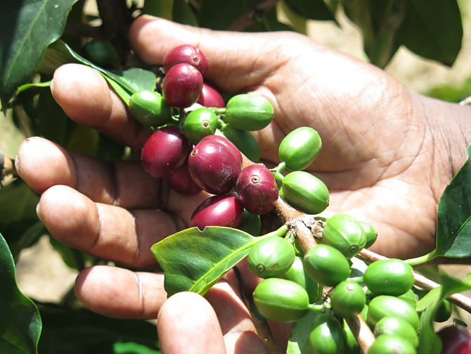 Coffee berries and inside is the bean under the skin_opt