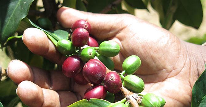Wake up to Sri Lankan coffee!