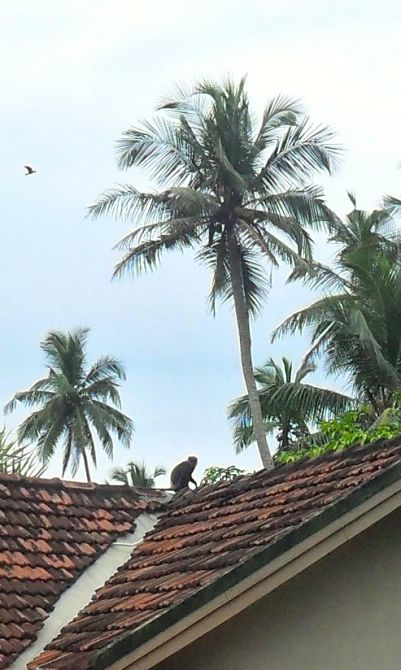 Kalu Wandura on my roof_opt