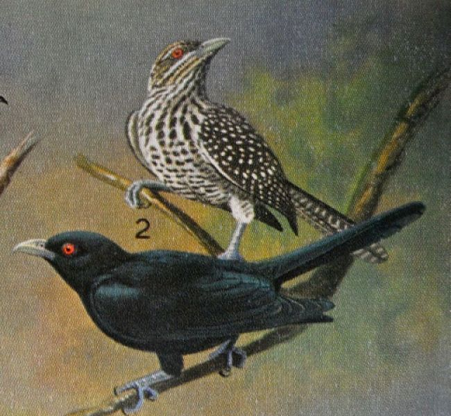 Male & female koel from G M Henry's book_opt