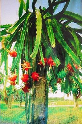 Dragon fruit growing edit