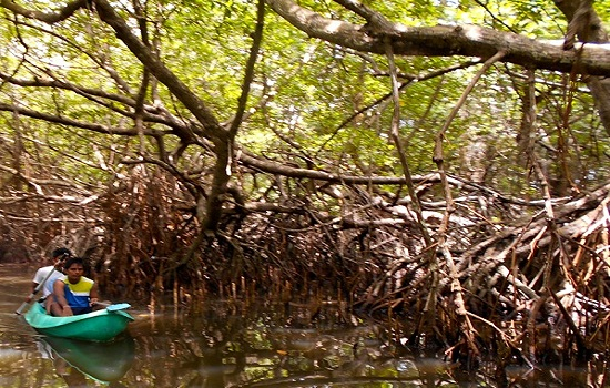 Exploring the mangroves by canoe edit