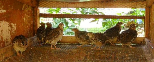 Contented quails