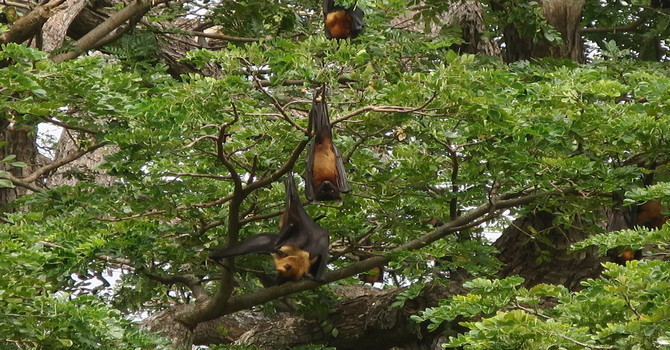 Yala's Batman – Jetwing Yala's Bat Tour